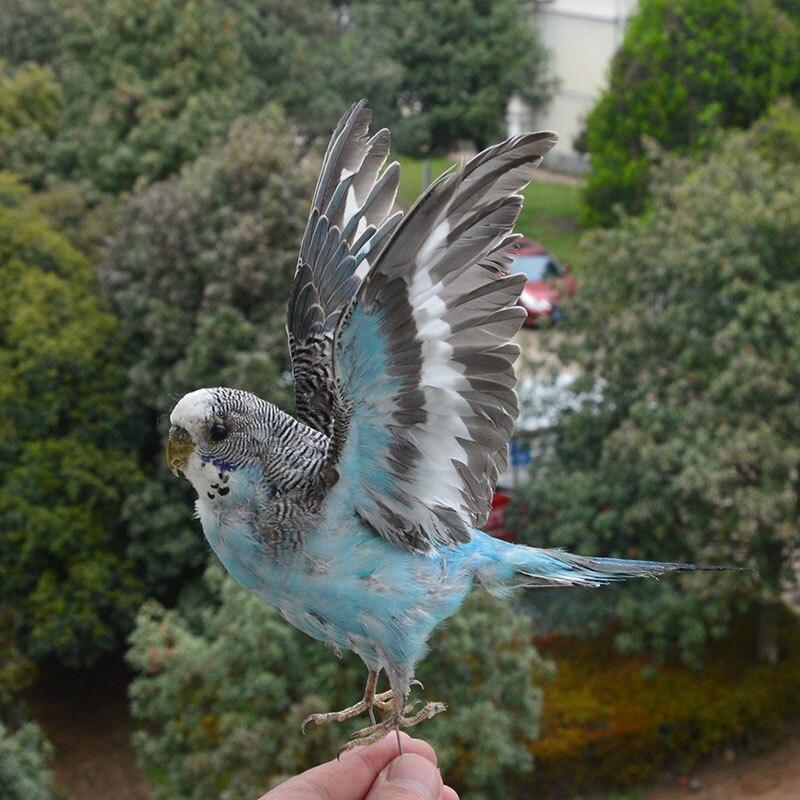 Taxidermia recheio eurasian papagaio espécime ensino decoração