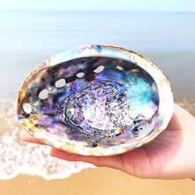 1 pcsnova zelândia abalone concha artesanato natural conch decoração para casa aquário paisagismo casamento paisagem decoraition