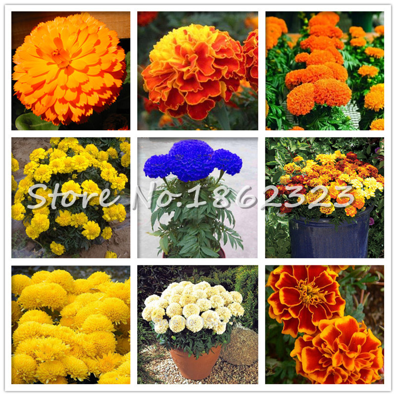 200 Pcs Marigold Bonsai Rare Indoor Bonsai Plant Chrysanthemum Flower Plants Four Season Courtyard Garden Chrysanthemum Plantas
