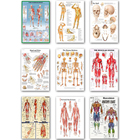 Human Anatomy Muscle...