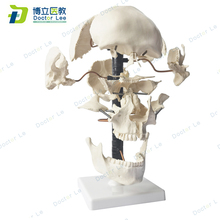 Skeleton-Anatomical-Model Bauchene-Skull Medical Science-Learning Adult of for Artificial