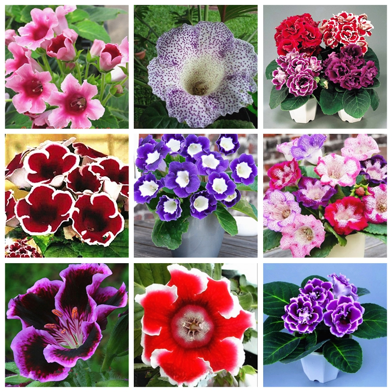 100 Pcs Rare Bonsai Flowers Gloxinia Climbing Gloxinia Flower For Home Diy Garden Perennial Flowering Ornamental-Plant