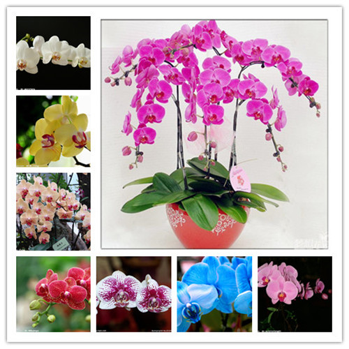 16 Kinds 100 Colorful Iris Bonsai Flower Plants Indoor Plant Flower,Heirloom Iris Tectorum Phalaenopsis Orchid For Home Garden