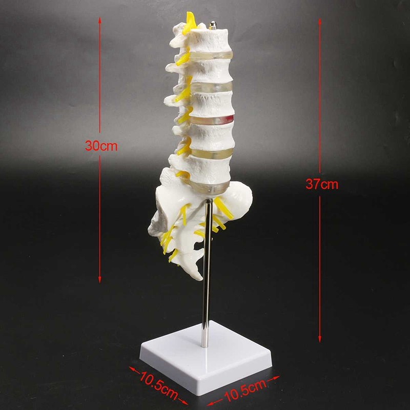30Cm Life Size Chiropractic Human Anatomical Lumbar Vertebral Spine Anatomy Model School Educational Medical Teaching Model Tool in Instrument Parts Accessories from Tools