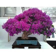 10 Pieces 7dwarf Redbud Japanese Tree Free Shipping