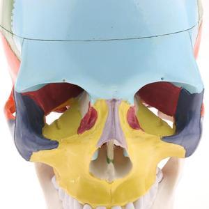 Image 5 - 1:1 色 22 部品人間の頭部の頭蓋骨と頚椎人間の解剖学的解剖骨格モデル医療ベージュ彫刻