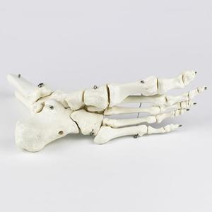 Image 5 - חיים גודל מפרקים ועצמות של רגל האנטומיה אדם רגל וקרסול דגם עם שוק עצם מודלים אנטומיים