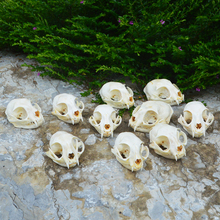 1 10pcs real animal Skull specimen Collectibles Study