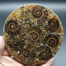 Piastra di fetta fossile di Ammonite conchiglia naturale una base di decorazione curativa del campione fossile del MADAGASCAR