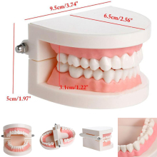 Dental Tooth Model Standard Teaching Dentist Model Teeth Model Dentistry Lab Material Dentist Instrument Dental Tools dental removable dental model dental tooth arrangement practice model with screw teaching simulation model oral materials