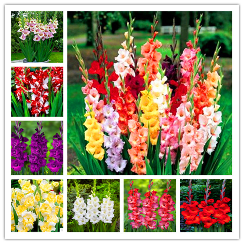 200 Pcs Multi-Color Gladiolus Flower(Not Gladiolus Bulbs), 95% Germination, DIY Aerobic Potted, Rare Gladiolus Bonsai Flower