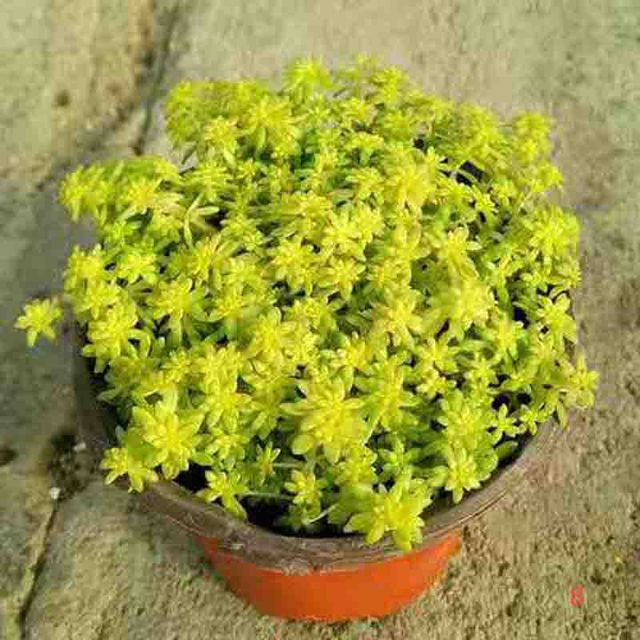 Succulent Plant Flower Seeds Flower Bulbs Office Desk Flowers
