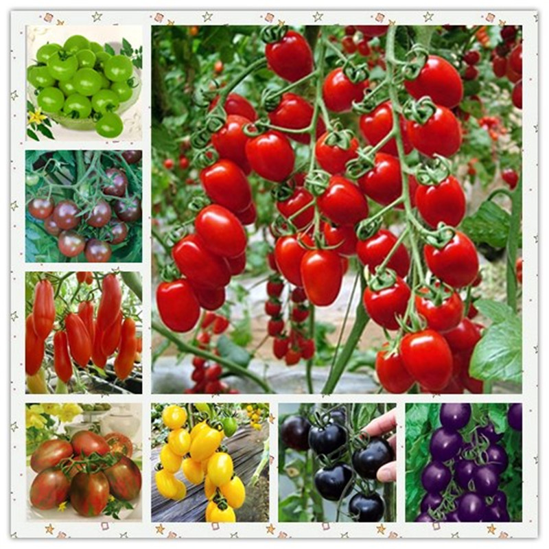 200Pcs Multi-color Fresh Tomato Succulent Plants Organic Non-GMO Tasty Fruit Vegetable Anti-Aging Planta/Plante for Home Garden