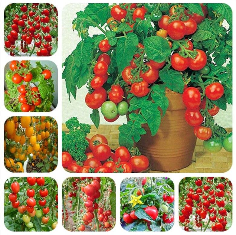 1000 Pcs/bag Bonsai Tomato , Delicious Mixed  Tomato ,Non-GMO Vegetables Edible Food Balcony Potted Garden Plants Free Shipping