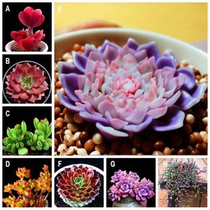100PCS Beauty Succulents Seeds