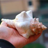 12-17cm natural conch shell seashells decorative spiral shell sea shells natural marine decoration large conch shells