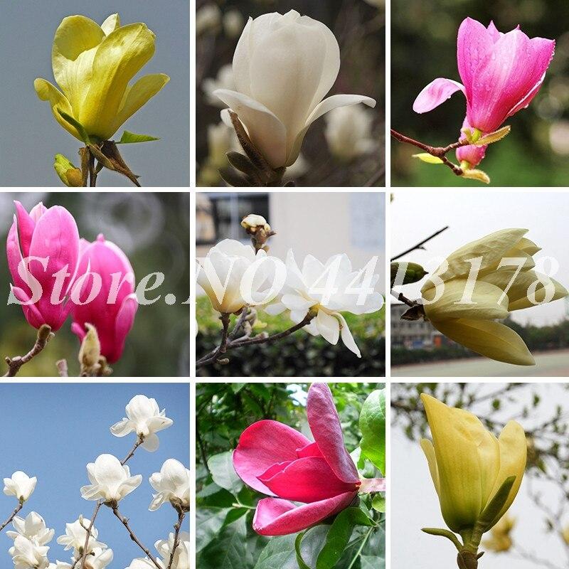 10 Pcs / Bag Mixed Magnolia Subtropical Garden Flower Bonsai Plant For Outdoor,Small,Medium And Large Size Diy Garden Plants