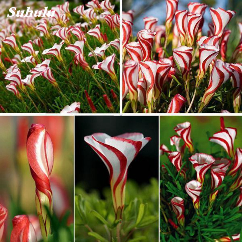 100 Pcs Rare Bonsai Oxalis Flower Red White Rotary Indoor Oxalis World's Rare Flowers For Garden Home Flowers Pot Planting