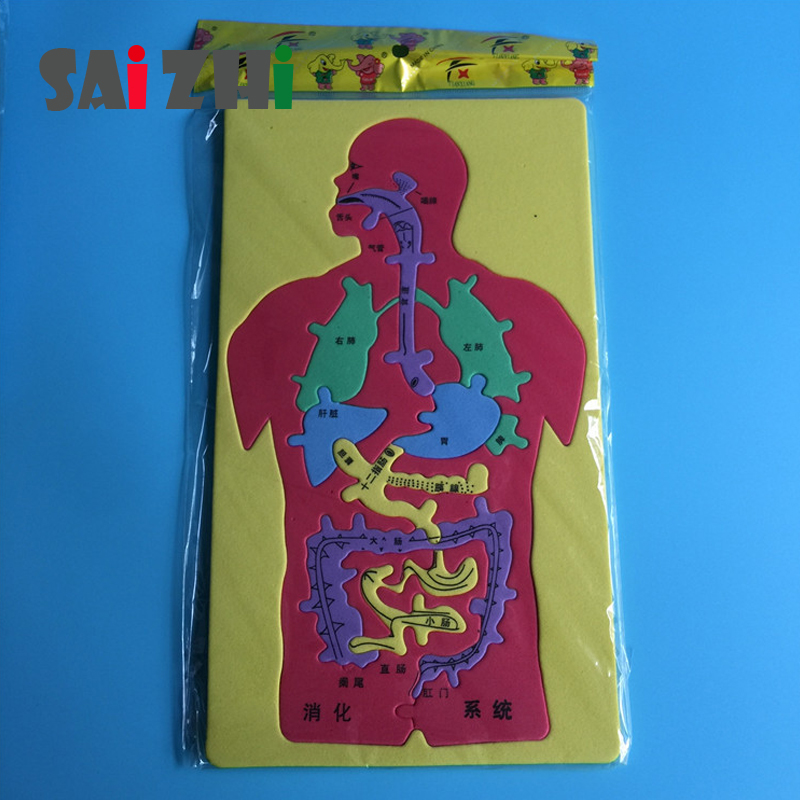 Saizhi Science Toys Diy Model Toy Human Digestive System Puzzle Developing Intelligent STEM Foam Toys Birthday Gift SZ3220
