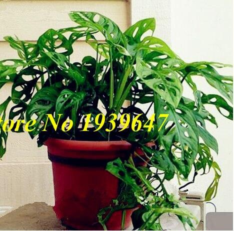 Hot Sale Genuine 100pcs / Bag 12 Kinds Mix Bonsai Filodendron, Vine Leaf, Indoor Plants Anti Radiation Absorb Dust Garden Tree