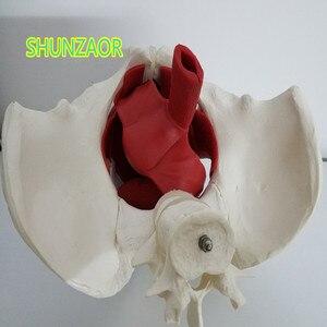 Image 3 - 1:1 אגן נשי ואיברי רבייה דגם (2 lumbars עמוד השדרה) נקבה שלפוחית השתן שרירי רצפת אגן w/עצם הזנב העצה דגם