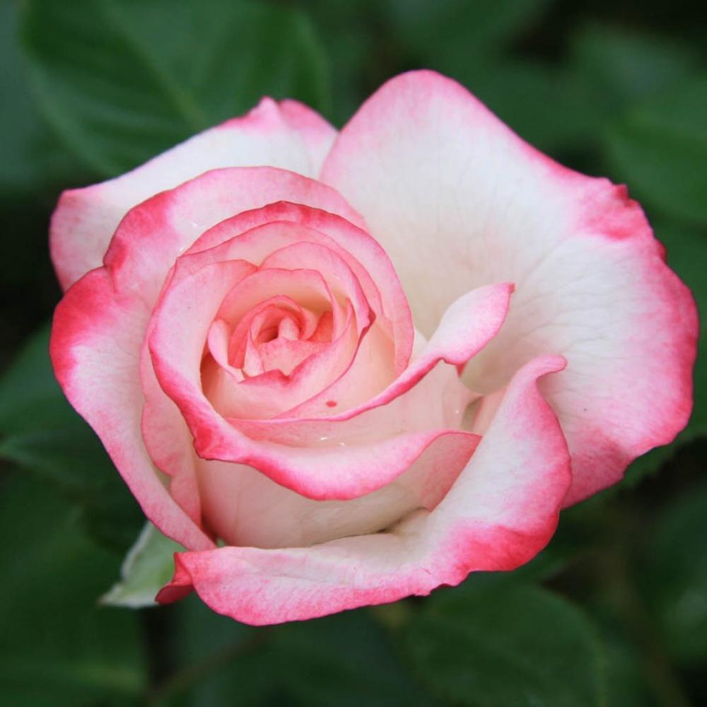 Купить алмазная вышивка с изображением розы украшение для дома картина