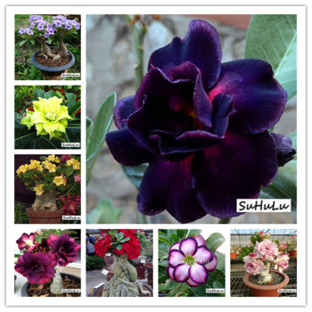 14 Kinds 5pcs Various Colors Adenium Obesum Bonsai potted plant 100% High Quality Genuine Desert Rose Perennial for Garden