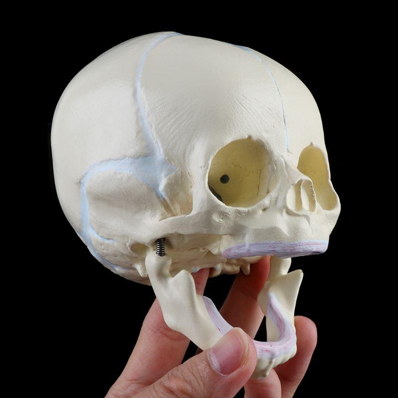 Educational Model Fetal Skull Model Anatomy Foetal Skull Model Infant Medical Skull Anatomical Skeleton Model Born Baby Skull Human Baby Skeleton Teaching Model,Medical Models