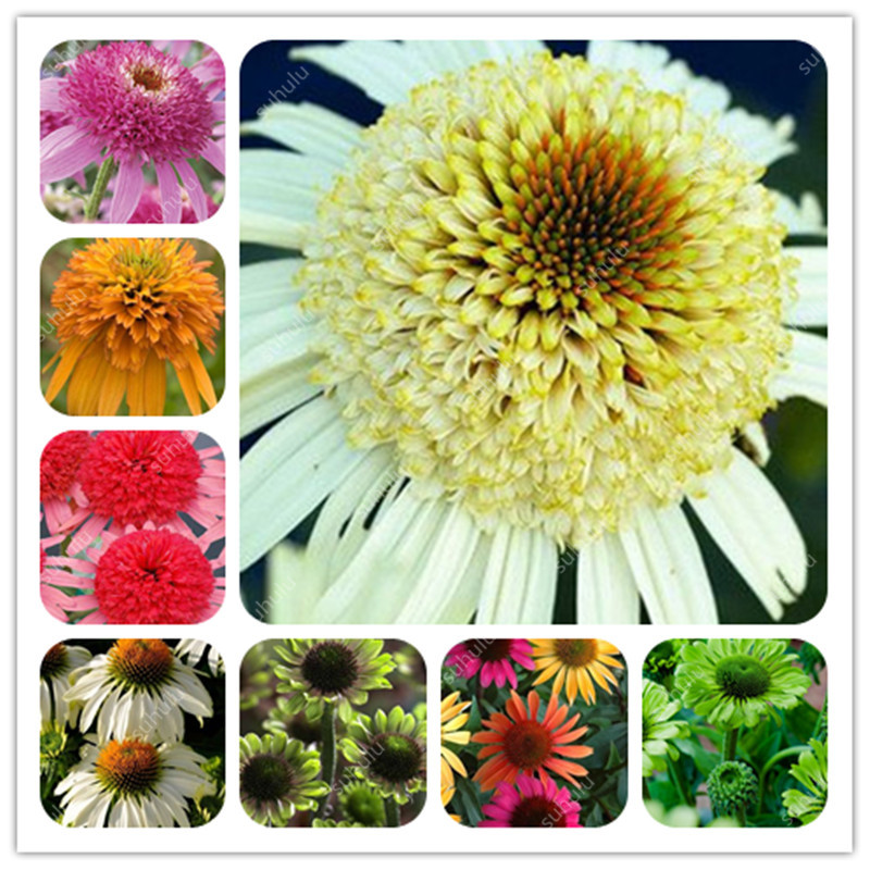 100Pcs Mixed Types Of Echinacea Purpurea Perennial Bonsai, Coneflowers Chrysanthemum Potted Daisy Plants For Home Garden