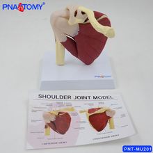 цена на 1:1 life size shoulder joint  knee joint model with muscles with instruction card human anatomical model skeleton anatomy medica