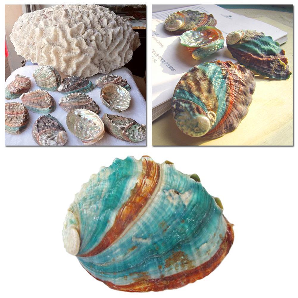 8-12cm Natural Rare Big Conch Shell Green Turbo Nautical Home Decor Collectibles Specimen Stripe Snail Seashell Wedding Decor