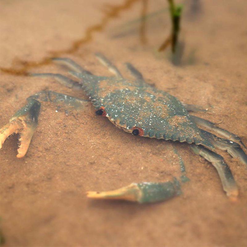 Incredible Shuttle Crab Realistic Marine Organism Model Bathroom Toy For Kids