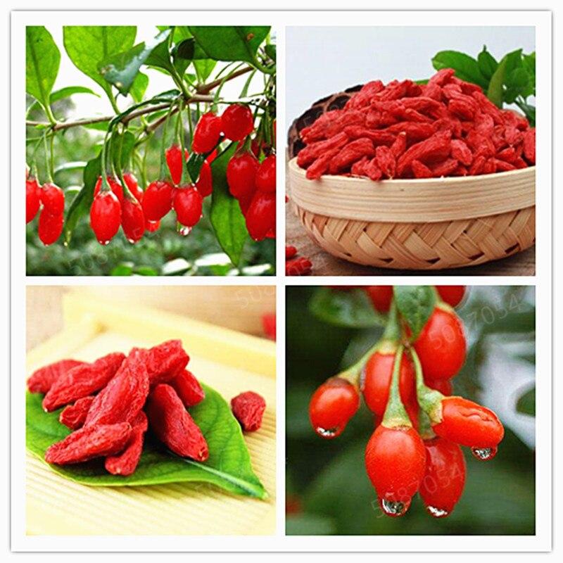 500 GOJIBERRY Bonsai Wolfberry Gou-gi-zi Matrimony Vine,Lycium Barbarum Goji Berry Shrub Bonsai Edible Fruit Fast Grow