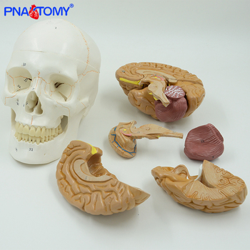 Human- brain anatomical model 8 parts with life size adult numbered skull model medical teaching tool school and hospital used natural size human anatomical brain model colored brain functional are medical tool with base cerebrum cerebellum model pnatomy