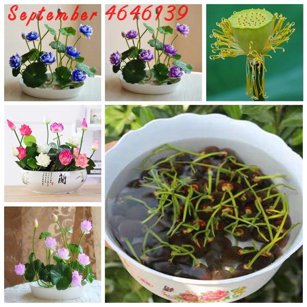 The Lowest Price 5/bag Bonsai Flower Lotus Flower For Summer 100% Real Bowl Lotus Pots Bonsai Garden Plants,complete Color