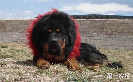 Тибетские цветные канаты Hada, завязанные вручную поводок для больших домашних собак, тибетский мастиф для собак Zang'ao