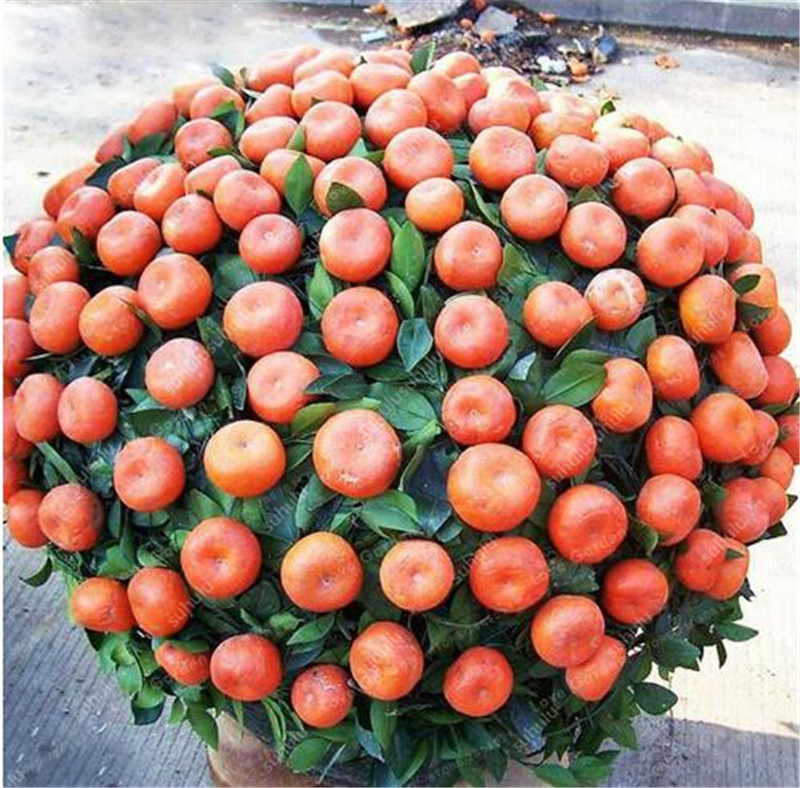 100 Pcs Citrus Bonsai Mandarin Orange Bonsai Edible Fruit Bonsai Tree Bonsai Healthy Food Home Garden Planting Easy To Grow