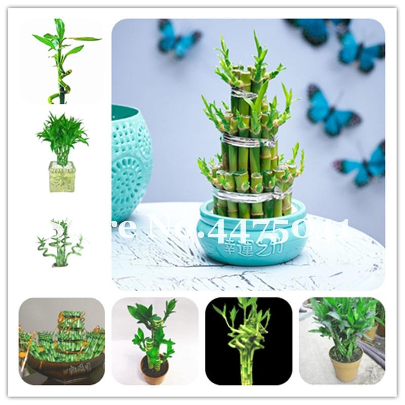 Promotion! 30 Mini Moso Bamboo Bonsai Lucky Bamboo Bonsai Garden Plant Potted Balcony Budding Rate Of 95% Diy For Home Garden