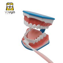 Standard Dental Teaching Model Study On The Structure Of Oral Teeth Dentist Educational Demonstration Tool For Brushing Teeth