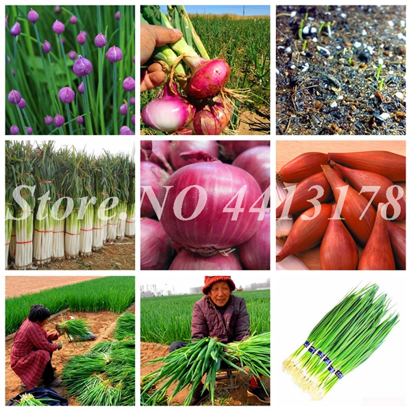 Hydroponic Plants Bonsai Potted Shallot Evergreen Vegetable Rare Non-GMO Organic Kitchen Seasoning Food Onion 200 Pcs/ Bag