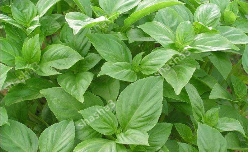 Large Leaf Basil Bonsai green fresh ocimum vegetable Plants Spices Aromatic Herb Bonsai Garden Plants Flower