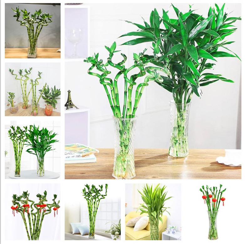 Big Sale! 30pcs Of Lucky Bamboo Plants Bonsai Good Luck Plants Vitality Tenacious Balcony Living Room Home Garden Bonsai