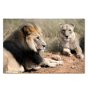 Wild Lion Couple Picture Printed on Canvas 2