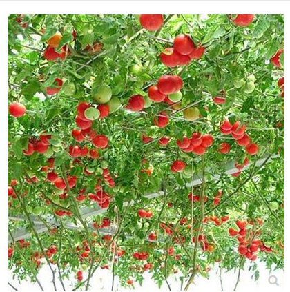 Tree Tomato Tree Seeds Small Tomato Semillase Verduras Four Season Seeds Potted Graines A Planter