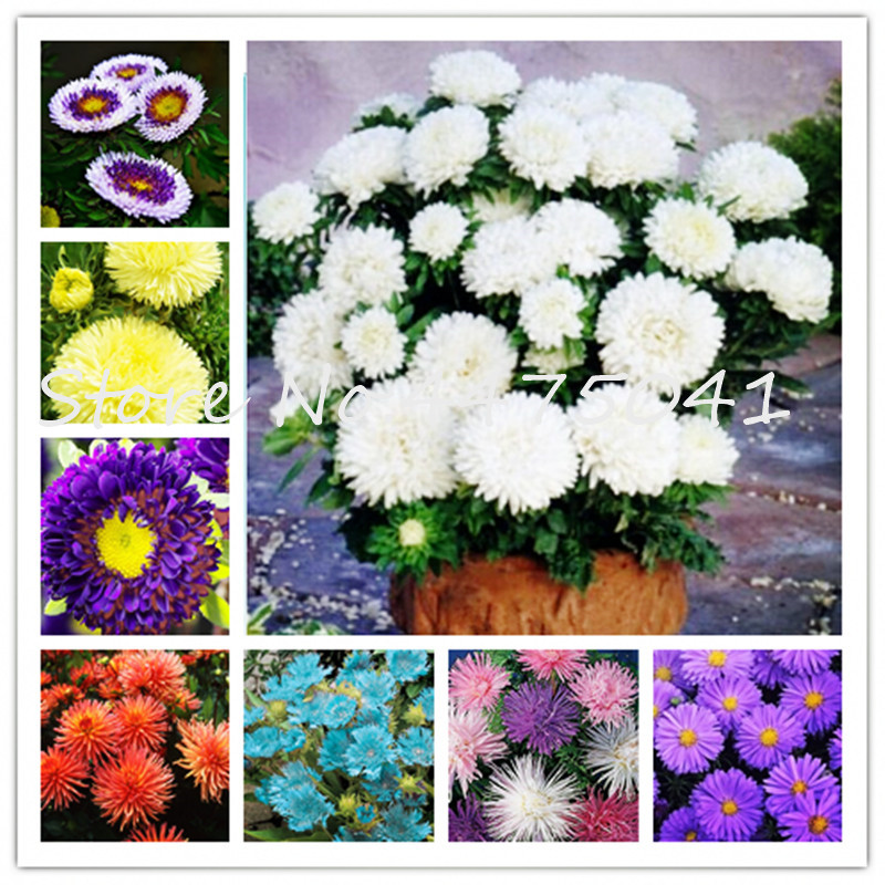 50 Pcs Aster Flower Bonsai, Colorful Chrysanthemum Perennial Bonsai Flower Potted Plant For Home & Garden Purify Air Resistant H