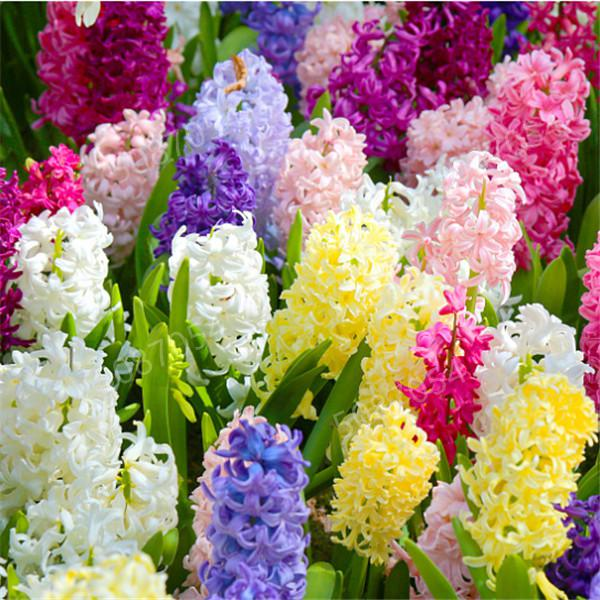 100/pcs Hyacinth Bonsai, Perennial Hyacinth Potted Flower, Indoor Plant Easy Grow In Pots, Bonsai Plant Flower For Home Garden