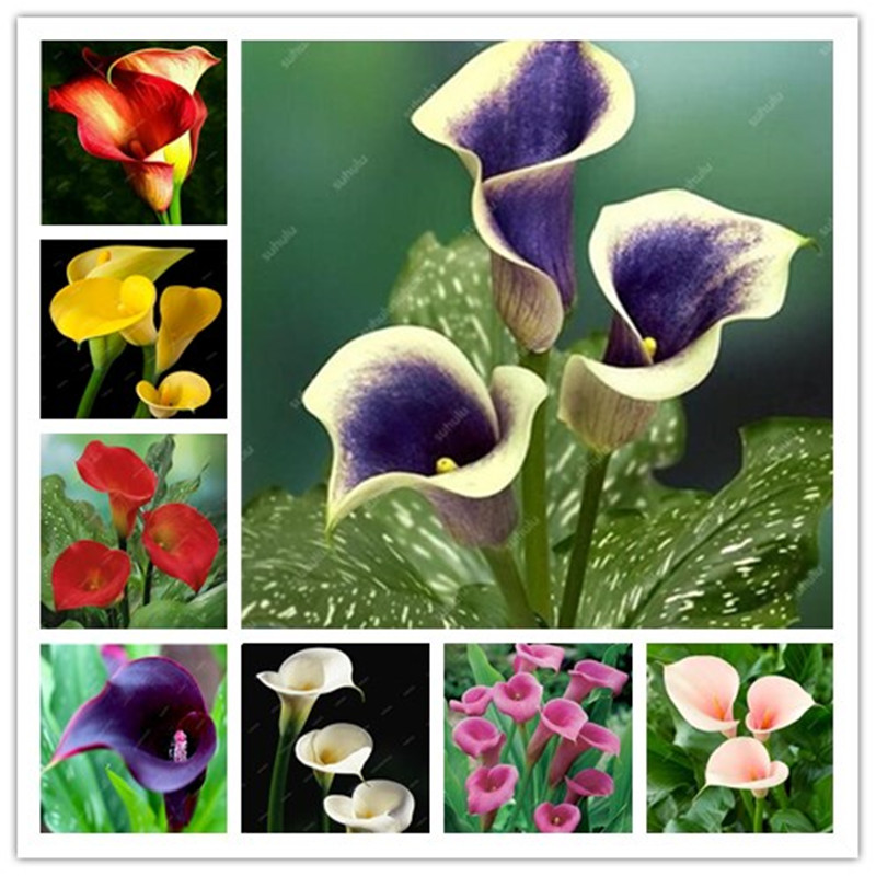 100 Pcs Calla Lily Bonsai Imported From Holland, Flower Lily Palnts, Rare Plants Flowers Home Gardening DIY Garden Supplies
