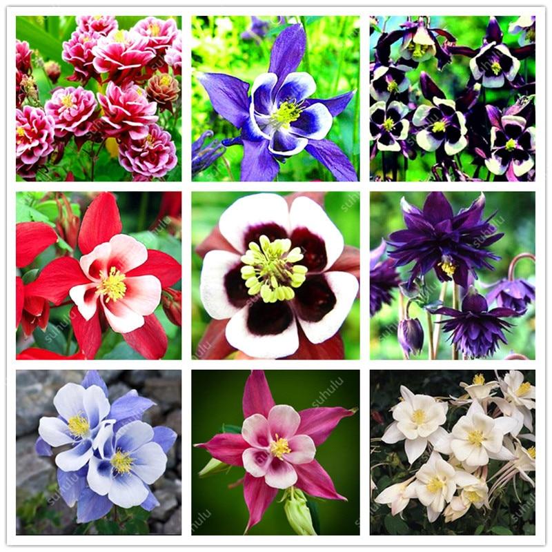 Big Sale! 100 Pcs Aquilegia Potted Flowers Double Aquilegia Bonsai Balcony Bonsai Plant For Garden & Home Four Seasons Planting