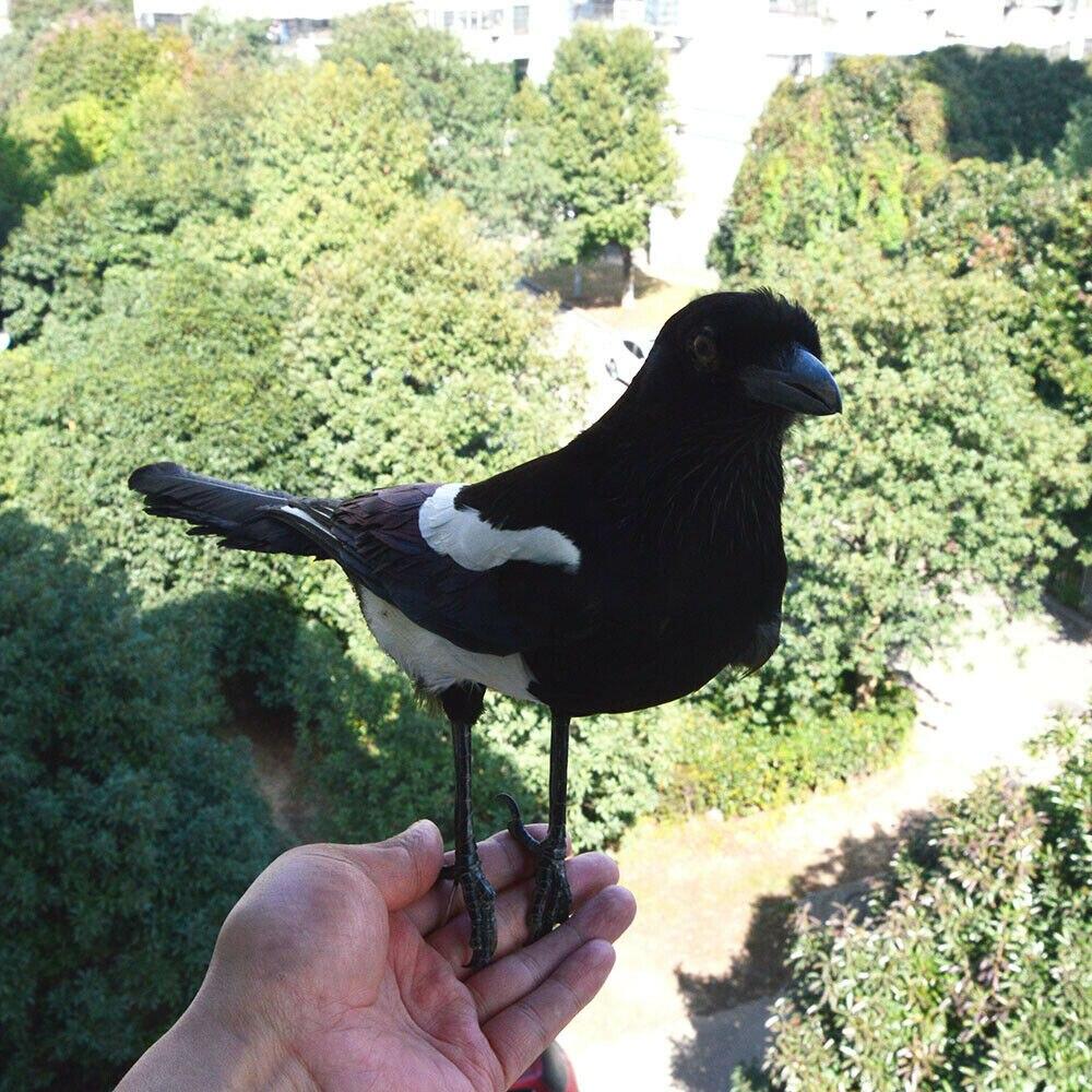 magpie comum preto-billed magpie ensino decoração