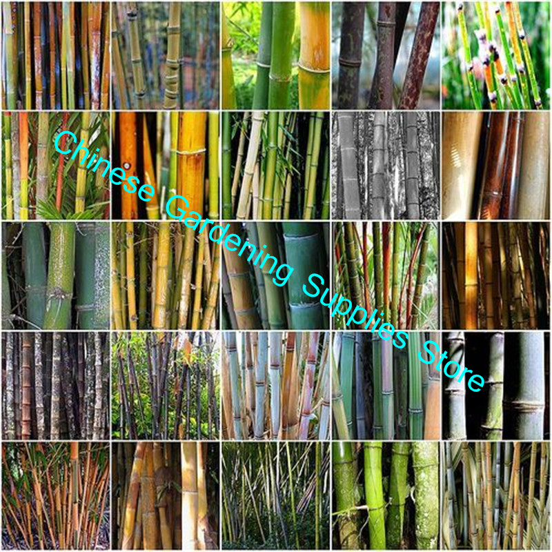 30 Pieces/lot Discoloration Bamboo Gaint Bamboo For Home Garden Decoration Greening Environment To Purify The Air